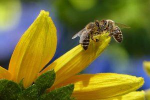 Honigbienen-pixabay