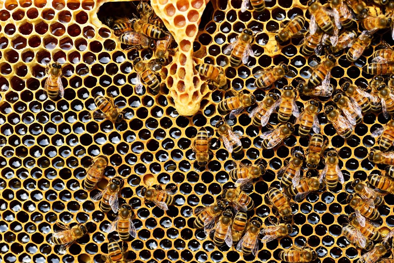 Bienenstock mit Weiselzelle (oben) für die Aufzucht einer Bienenkönigin